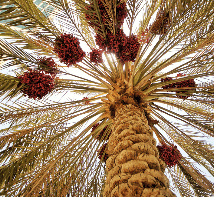 Our project is distinguished by the strong and integrated partnership between Nakheel Valley and the investor, as agricultural investments have only been accessible to investors with significant capital, vast industry expertise, and direct connections to producers. Nakheel Valley has removed those barriers by enabling the investors to get into this profitable business sector with the least investment needed.